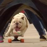 Te cute: de skateboardende bulldog Otto zet een uniek wereldrecord neer