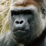 Gigantische gorilla komt verhaal halen