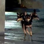 Mensen zijn doodsbang voor de levensgevaarlijke driekoppige chihuahua