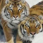 Siberische tijgers zien voor het eerste in hun leven een drone